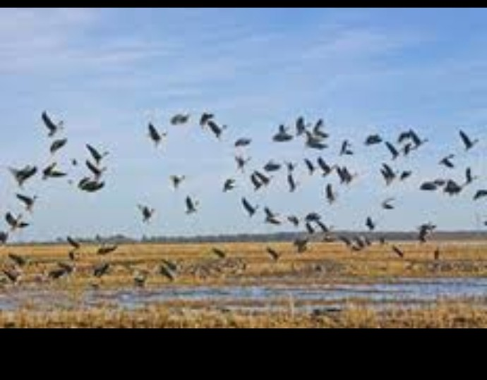 duck down guide service   speckle belly goose hunting